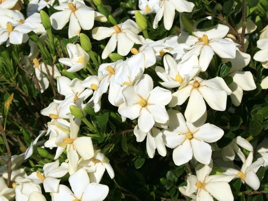 If your beautiful gardenias start showing the signs of sooty mold, the bush likely as some piercing and sucking insects causing the problem. There's a remedy for it.
