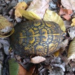 A box turtle spotted in a park in Long Valley.