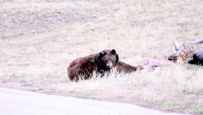 This bear was photographed in 2017. Authorities say a man camping Sunday, May 27, 2018, in the Gila National Forest was bitten by a bear that was drawn to the area by food that was kept in his tent.