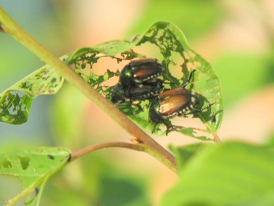 Adult Japanese beetles on a leaf.