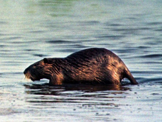 A nutria makes its way ashore at Blackwater National