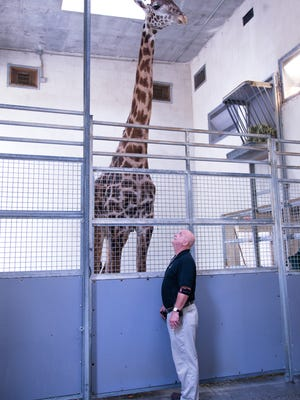Miles the giraffe, Greenville Zoo's newest resident stands beside Zoo Administrator Jeff Bullock