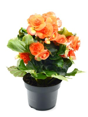 Tender annuals like geraniums, begonias, impatiens, plectranthus and coleus can easily be overwintered in the house.