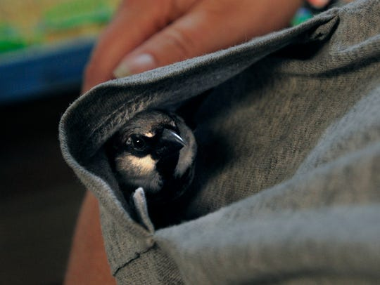 Tweedles snuggles down in Gail Pittman's  shirt pocket