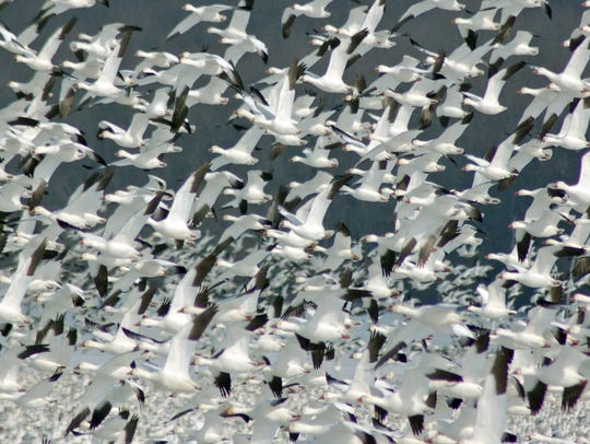 The flocks of snow geese at Middle Creek Wildlife Management