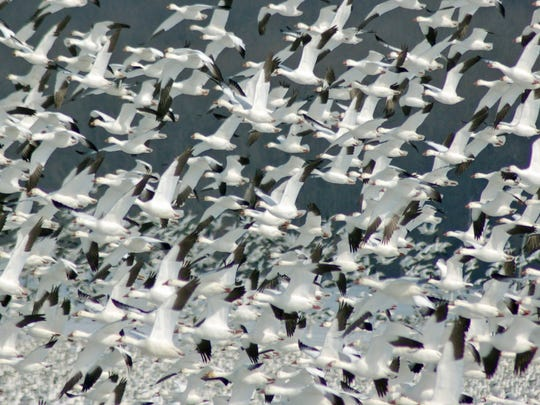 The flocks of snow geese at Middle Creek Wildlife Management Area are the top attraction for naturalists.