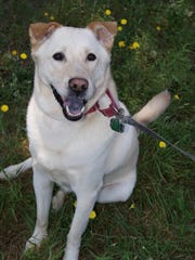 Jesse, a lab-mix, was riding in the vehicle involved in the crash. The dog is now missing.