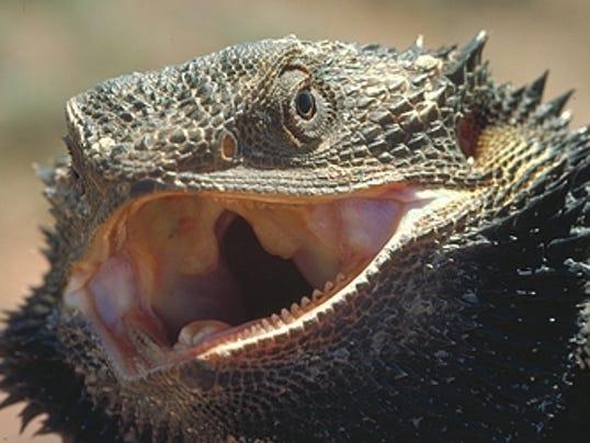 BHM bearded dragon