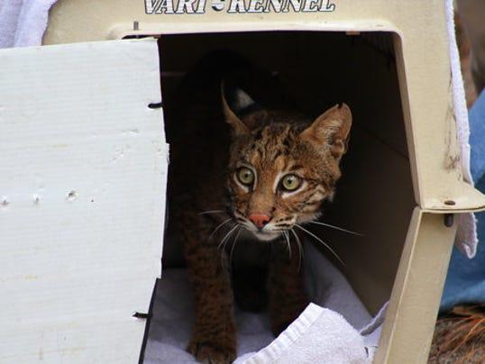 Jekyll Island Authority and Jacksonville Zoo Save Bobcat