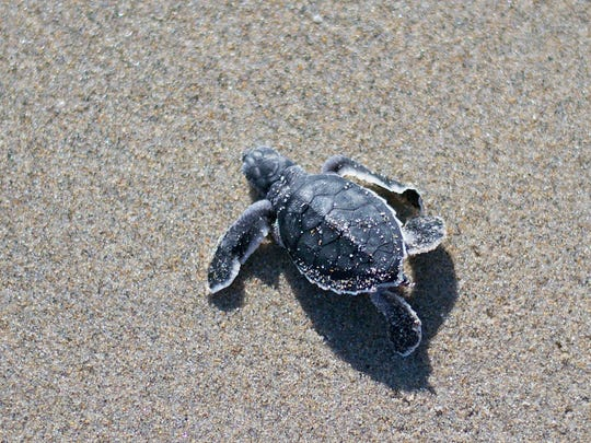 Sea turtles are long-lived animals, so Loggerhead Marinelife Center's research biologists say they cannot be sure why exactly the nesting numbers change.