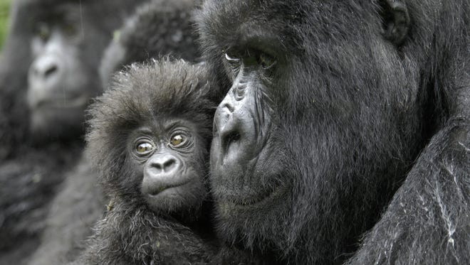 A female gorilla and her 4-month-old baby in the Democratic Republic of the Congo.