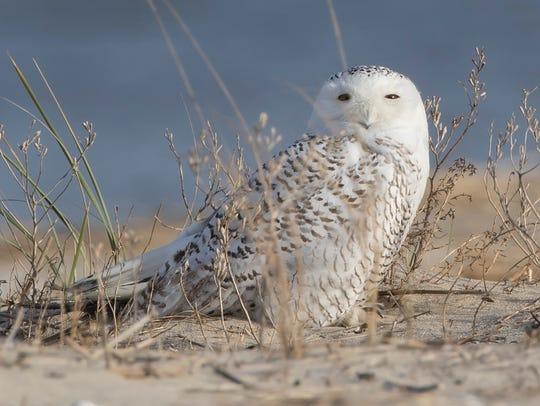 Snowy owl at Fowler Beach.
