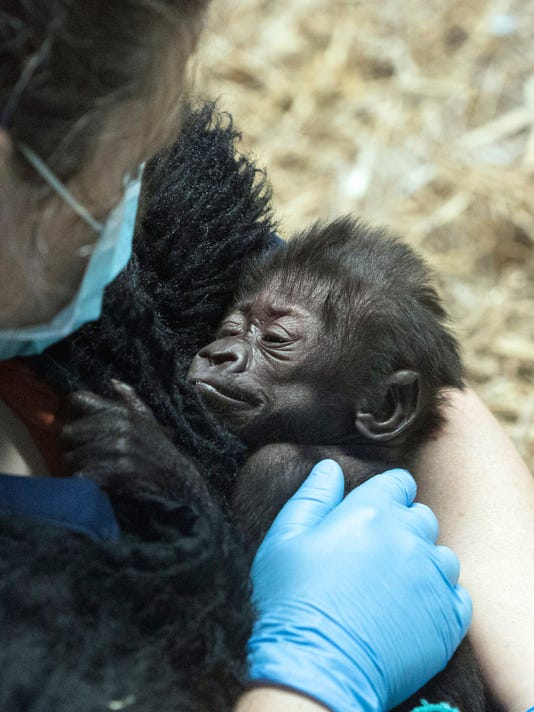 635967574205121719-First-look-at-the-baby-gorilla-PEARL-04.jpg
