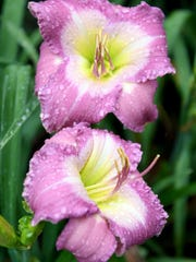 Lake Lure is one of the varieties of daylily growing