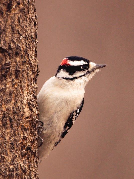 WDH 0116 Outdoor Rec Downy woodpecker.jpg