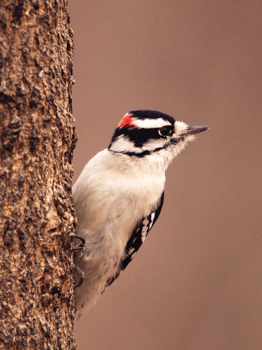 WDH 0116 Outdoor Rec Downy woodpecker.jpg