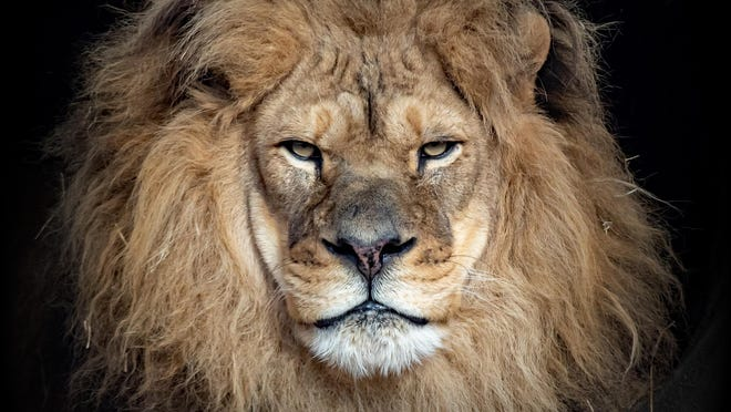 In a news release, the zoo announced that veterinary staff had to make the difficult decision Friday to euthanize Avus, an elderly African lion that had been at the Topeka Zoo since the summer of 2006.