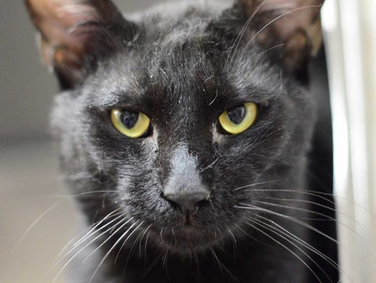 Tucker - Male domestic short hair, adult. Intake date: