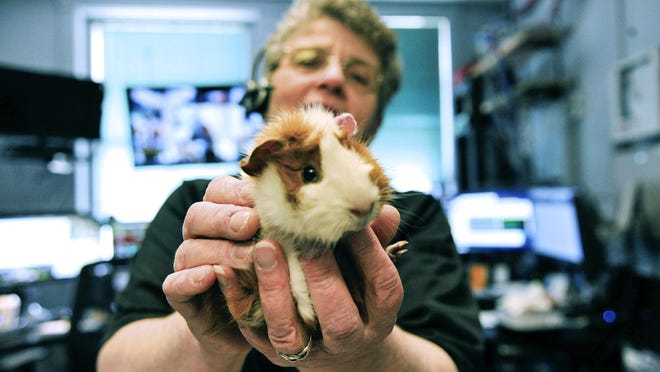 St. Johnsbury Public Safety Dispatcher Karen Montgomery holds a guinea pig in the Vermont town's dispatch center Wednesday.