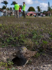 A burrowing owl keeps an eye out for predators near its burrow in Cape Coral as volunteers with the Cape Coral Friends of Wildlife help clear overgrowth and debris from owl burrows.
