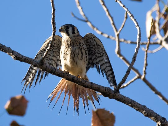 A kestrel with singed tail feathers. Birders in the Meadowlands have found hawks and other raptors with seriously burned tail and wing feathers. It appears the birds are getting singed as they fly over a nearly invisible flame used to burn off methane at the Kingsland Landfill.