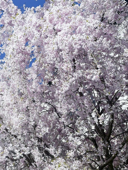 Trees in bloom on Friday, April 24, 2015. Public Opinion - Ryan Blackwell
