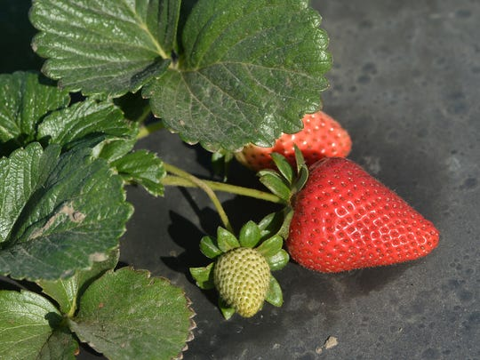 A strawberry is ready to be picked at an Oxnard farm in this file photo. Strawberries are Ventura County's top crop by far.