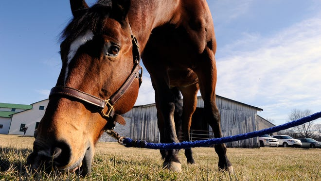 Stitch, an American quarter horse, gazes in the grass before the groundbreaking for the multi-purpose equestrian arena at the Park at Harlinsdale Farm in Franklin on Tuesday, Feb. 3, 2015.