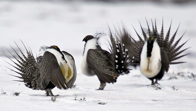 In this April 20, 2013 file photo, male greater sage grouse perform mating rituals for a female grouse, not pictured, on a lake outside Walden, Colo.