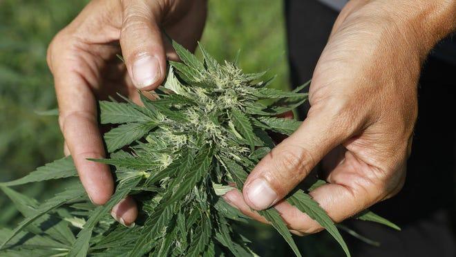 Julie Doran displays a hemp plant at Trichome Crop Farm near New Albany.