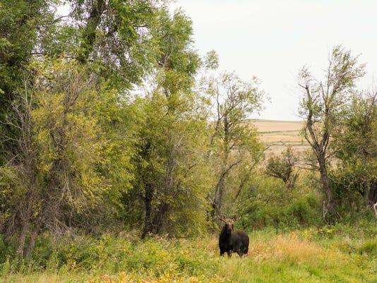Moose in shelter belt