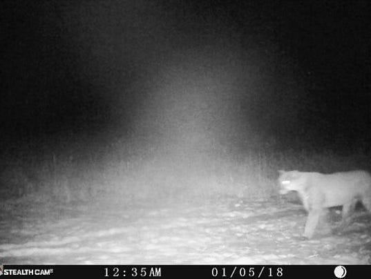 636523153232741668-Cougar-Wisconsin-trail-cam.jpg