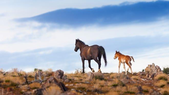 Wild horses cross the Nevada desert.