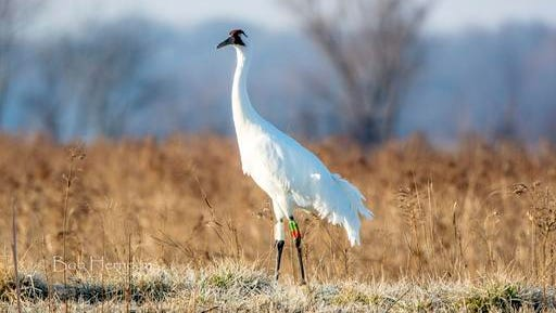 In this Feb. 27, 2016 photo provided by Bob Herndon, a federally endangered whooping crane known as 4-11 stands in southwestern Indiana's Goose Pond Fish and Wildlife Area in Linton, Ind. Wildlife officials say the recent fatal shooting of an endangered whooping crane in rural Indiana is a sad reminder of the threat gunfire poses to North America's tallest birds as the rare species recovers from a brush with extinction.  (Bob Herndon via AP)