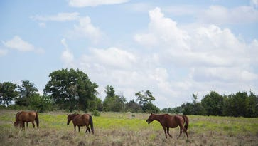Wild horses graze on John Jameson's ranch in Davis, Okla. Jameson contracts with the federal government to care for the horses, which were rounded up from Western rangelands.