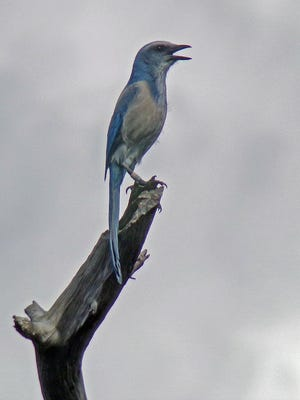 The Florida Scrub Jay Festival will be from 10 a.m. to 4 p.m., Saturday, Feb. 18 at Jonathan Dickinson State Park, 16450 S.E. Federal Highway, Hobe Sound. Park admission is $6 per vehicle, for up to eight people; and $4 for a single-occupant vehicle or motorcycle. For more information, call the Kimbell Education Center at 561-745-5551 or go to www.facebook.com/Florida-Scrub-Jay-Festival-202933953050197/.