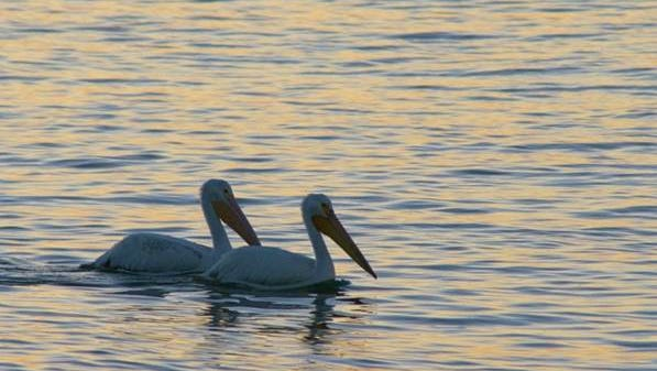 This pair of white pelicans was photographed by R.L. Krueger on Lake Michigan near the Lighthouse Inn. They were part of a group of approximately nine that came close enough for a good photo. Pelicans are just some of the new inhabitants of our area, like the bald eagles that have showed up over the past decade.