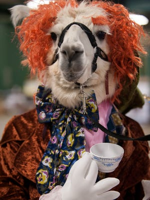 Ann Arbor resident Ginger Burns' llama Darling Dot dressed as the Mad Hatter from Alice in Wonderland for the costume contest portion of Lamafest on Saturday, Sept. 3, 2016 at Michigan State University's Pavilion.