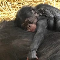 Chimpanzee born at Detroit Zoo on World Chimpanzee Day
