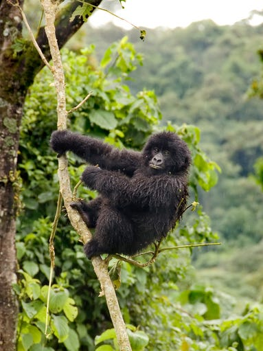 the risk of extinction of popular primates today Abstract many extant species are at risk to go extinct this impending loss of  species is likely to cause changes in future ecosystem functions.