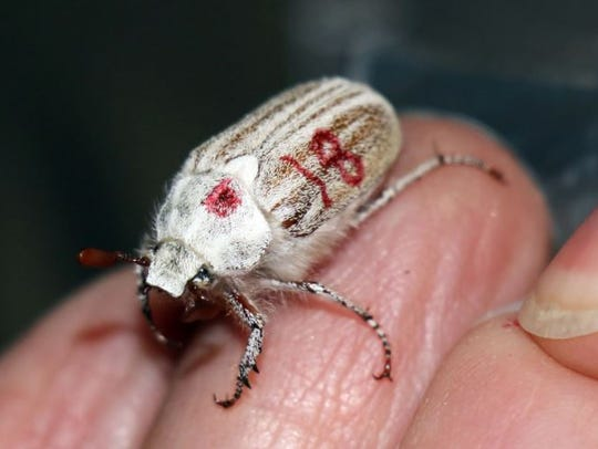 This photo shows a Casey's June Beetle that was discovered