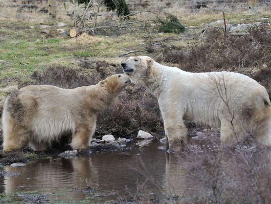 636505871844420351-16-3-20-Polar-bear-mating-2-Credit-RZSS-AlexRiddell.jpg