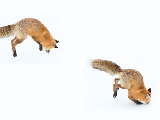 A stitched series of a red fox hunting a vole deep under the snow shows how foxes will often stare and cock their heads while listening for voles they can't see, and then set their hind legs for the pounce that will drive them through the snow to capture their meal.