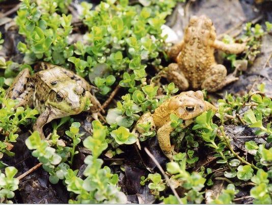 636259480560940083-Frogs-Toads.jpg