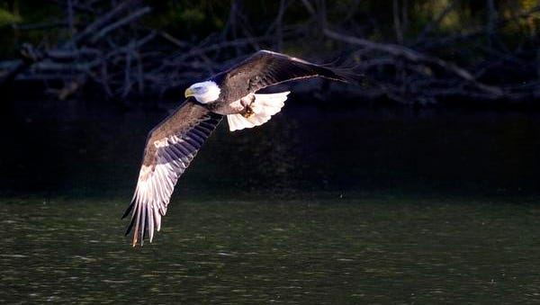 A mature eagle has made Radnor Lake its temporary home.
