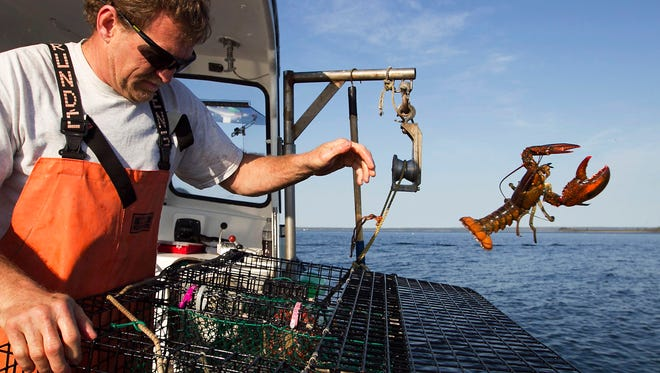 FILE - In this May 21, 2012, file photo, Scott Beede returns an undersized lobster while fishing in Mount Desert, Maine. Fisherman in northern New England have been catching record numbers of lobsters, but south of Cape Cod, the lobster population has plummeted to the lowest levels ever seen, in a northward shift that scientists attribute in large part to the warming of the ocean. (AP Photo/Robert F. Bukaty, File)