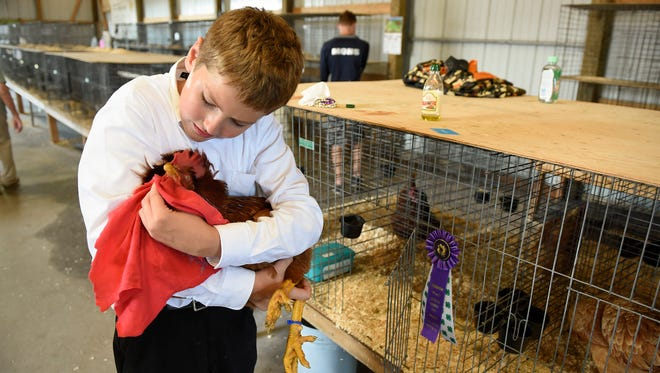 Bryant Pierce, 11, Minden 4-H Club, wipes his Red Ranger rooster with a little olive oil to make him shiny before the poultry judging Thursday, Aug. 4, 2016, at the Benton County Fair in Sauk Rapids.