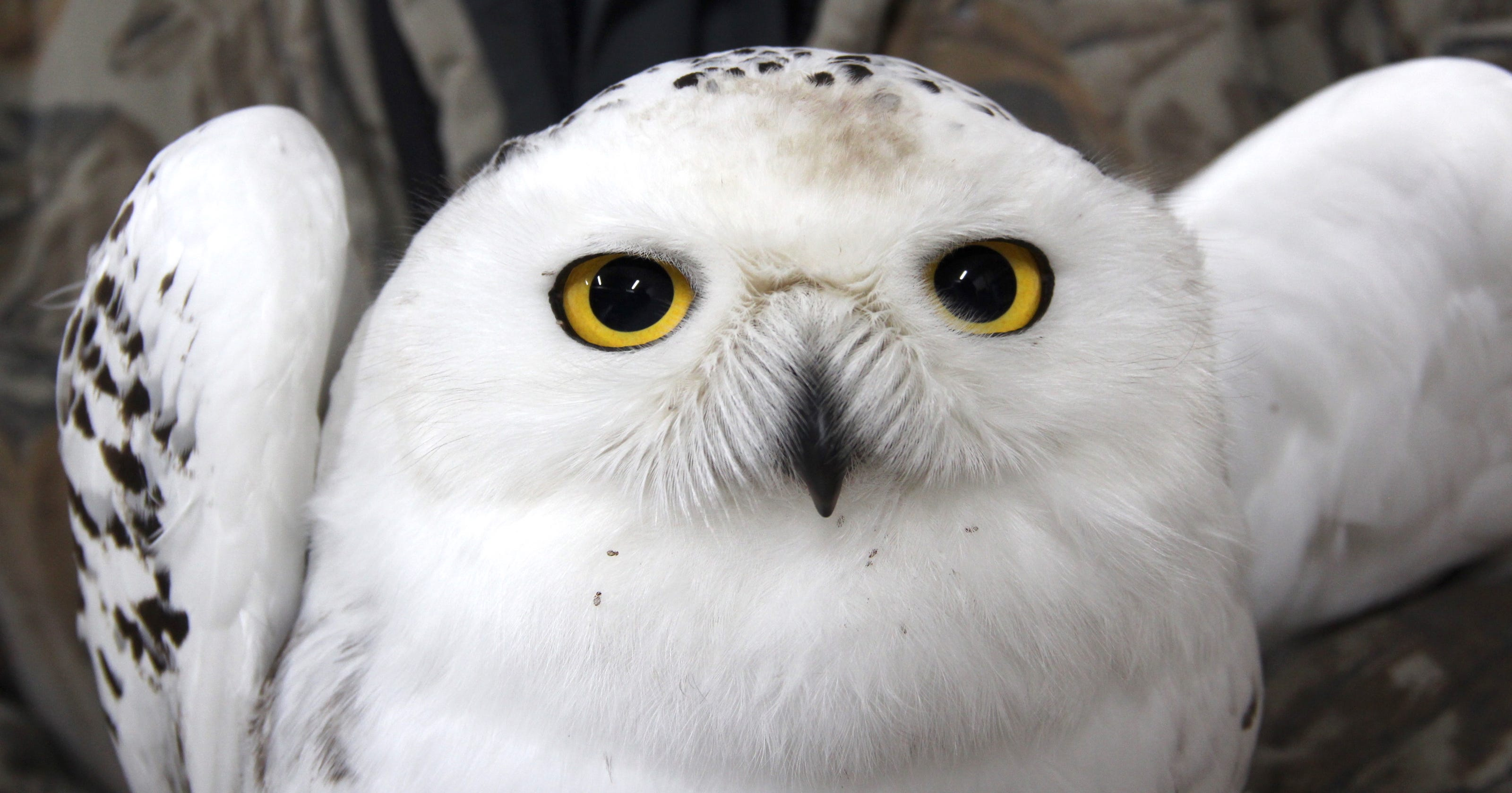 Record number of snowy owls sighted in Wisconsin this winter - photo#20
