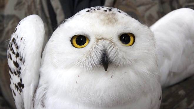 A juvenile male snowy owl captured as part of Project SNOWstorm is held during evaluation at Barkhausen Nature Preserve in Suamico.