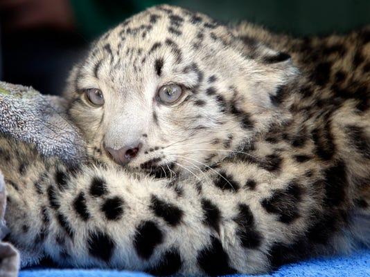 636287276921459320-1009-MALO-NS-snow-leopard-01.JPG